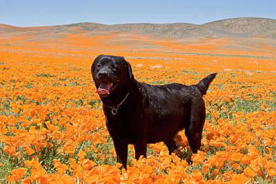 Black Lab Photograph - Black Labrador Retriever Standing by Zandria Muench Beraldo