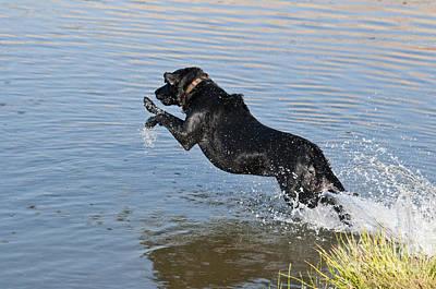 Photograph - Black Labrador Retriever by William H Mullins