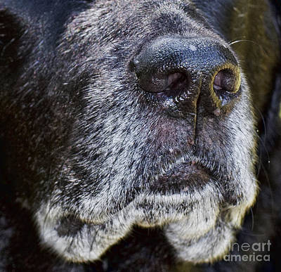 Photograph - Black Lab's Black Nose by Les Palenik