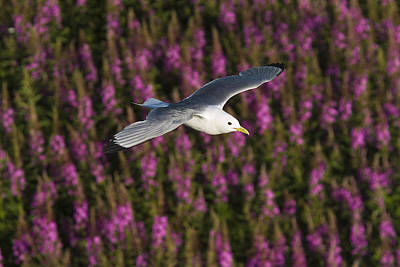 Royalty Free Images Photograph - Black-legged Kittiwake Flying Over A by Brian Guzzetti