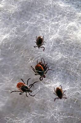 Agronomy Photograph - Black-legged Ticks by Keith Weller/us Department Of Agriculture