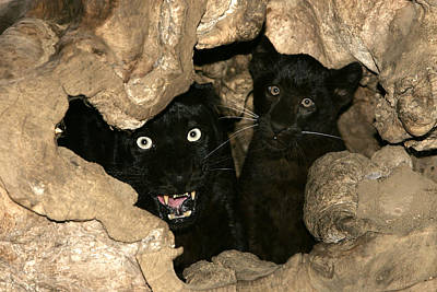 Black Leopards Art Print