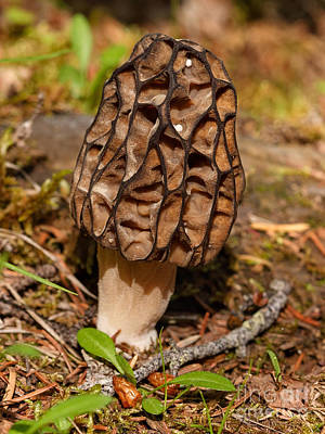 Photograph - Black Morel by Charles Kozierok