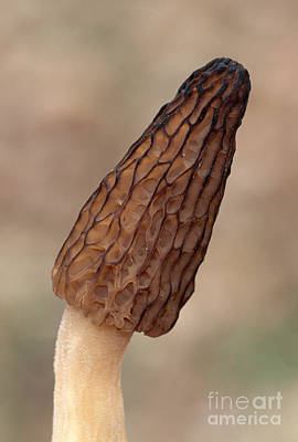 Photograph - Black Morel by Larry West