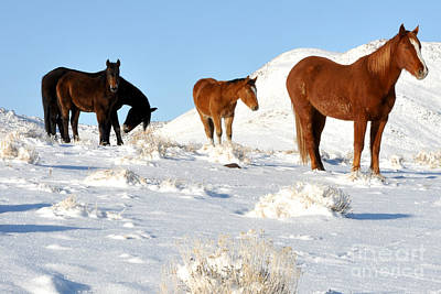 Black N' Brown Mustangs In Snow Art Print