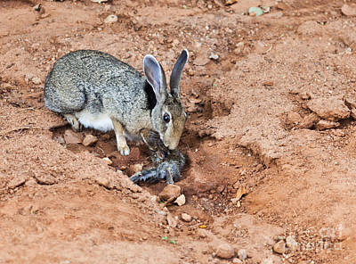 Hare Photograph - Black-naped Hare With Newborn Leveret by Liz Leyden