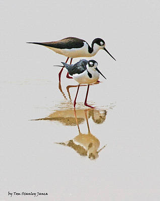 Black Neck Stilts Togeather Art Print by Tom Janca