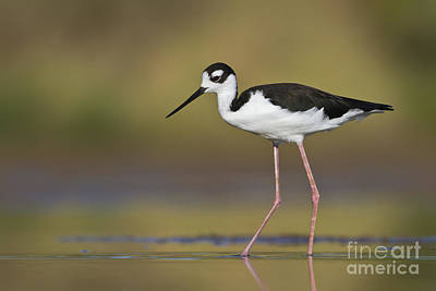 Winter Animals - Black necked stilt by Bryan Keil