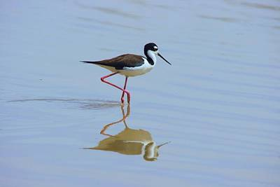 Photograph - Black Necked Stilt by David Rizzo