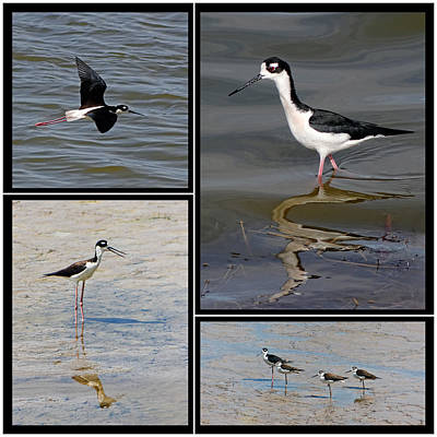 Photograph - Black Necked Stilt by Dawn Currie