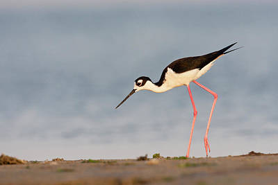 Feeding Photograph - Black- Necked Stilt (himantopus by Larry Ditto