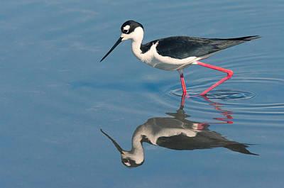 Rose - Black-necked stilt - Huntington Beach California by Ram Vasudev