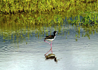 Photograph - Black-necked Stilt IIi by Patricia Griffin Brett