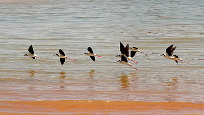 Photograph - Black-necked Stilt - Lake Powell by Julie Niemela