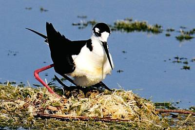 Photograph - Black-necked Stilt Nest by Ira Runyan