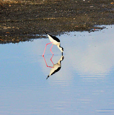 Photograph - Black Necked Stilt Reflections by Suzie Banks