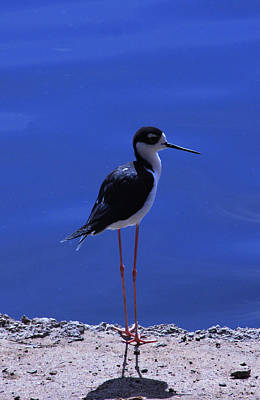 Print featuring the photograph Black-necked Stilt by Richard Stephen