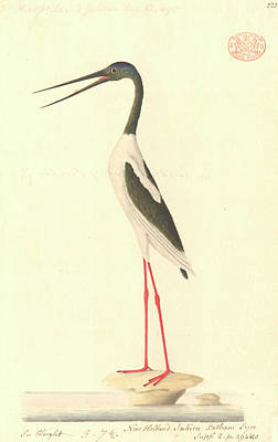 Painter Photograph - Black-necked Stork by Natural History Museum, London
