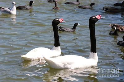 Swan Pair Photograph - Black-necked Swans by Carol Groenen