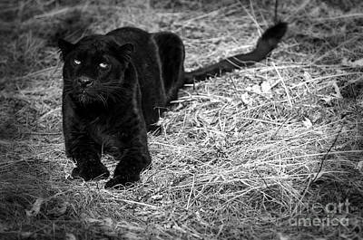 Panther Photograph - Black On Black Leopards by Wildlife Fine Art