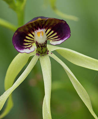 Epiphyte Photograph - Black Orchid (prosthecea Cochleata by William Sutton