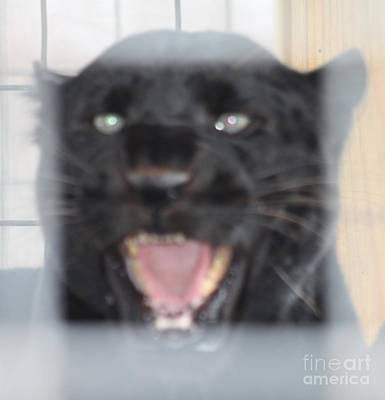 Photograph - Black Panther Caged And Angry by John Telfer