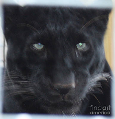 Photograph - Black Panther Waiting by John Telfer