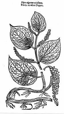 Black Pepper Art Print