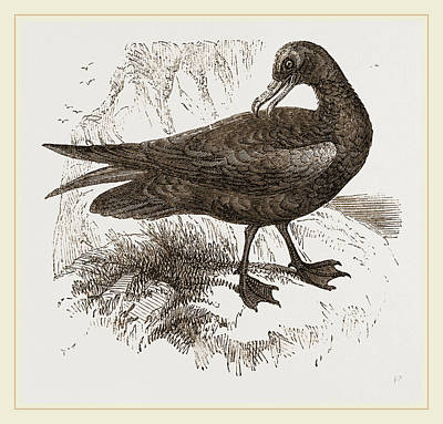 Biological Drawing - Black Petrel by Litz Collection