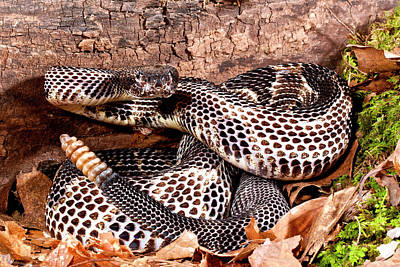 Timber Rattler Photograph - Black Phase Timber Rattlesnake by David Northcott