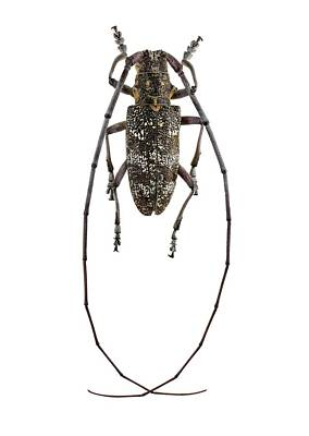Black Pine Sawyer Beetle Art Print by F. Martinez Clavel