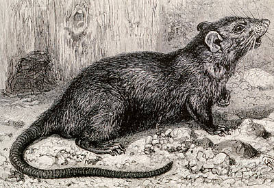 Bubonic Plague Photograph - Black Rat 19th Century Engraving by Spl