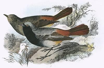 Redstart Photograph - Black Redstart by English School