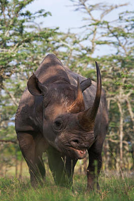 One Horned Rhino Photograph - Black Rhino (diceros Bicornis by Keren Su