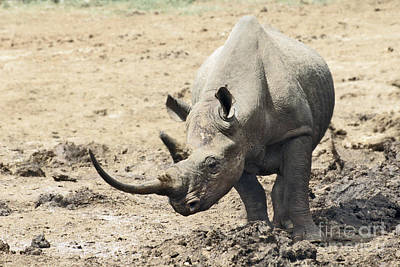 Rhinoceros Photograph - Black Rhino  Diceros Bicornis by Liz Leyden