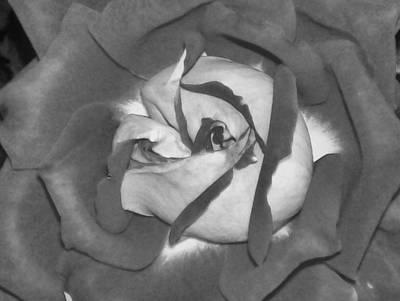 Photograph - Black Rose by Belinda Lee