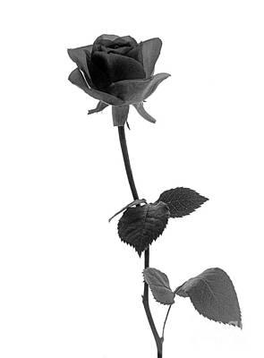Photograph - Black Rose by Casper Cammeraat