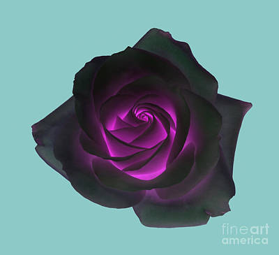 Black Rose With Purple Centre On Pale Turquoise Background. Art Print by Rosemary Calvert