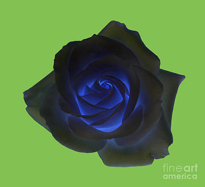 Black Rose With Vibrant Blue Petals At Centre On Green Art Print by Rosemary Calvert