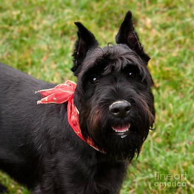 Schnauzer Art Photograph - Black Schnauzer With Red Bow Smiling by Iris Richardson