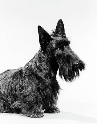 Best Friend Photograph - Black Scottie Scottish Terrier Dog by Vintage Images