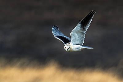 Black-shouldered Kite Elanus Axillaris Art Print by Panoramic Images