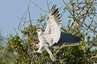 Black-shouldered Kite Art Print by Science Photo Library