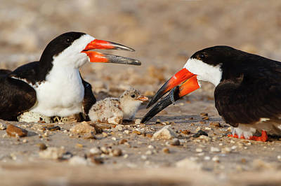 Black Skimmers Photograph - Black Skimmer And Chick by Larry Ditto