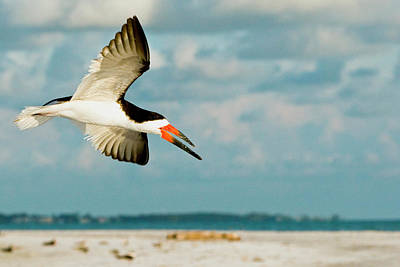 Black Skimmers Photograph - Black Skimmer Bird Flying Close by James White
