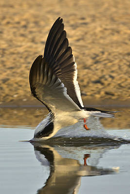 Photograph - Black Skimmer Diving  383z2323 by David Orias