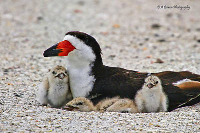 Photograph - Black Skimmer Family by Barbara Bowen