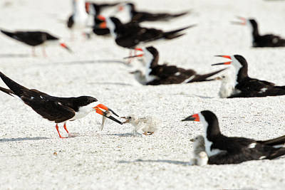 Black Skimmer Feeding Chick (large Art Print by Sheila Haddad