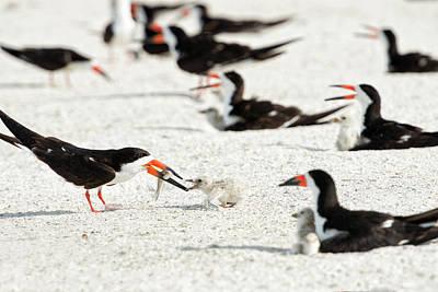 Black Skimmers Photograph - Black Skimmer Feeding Chick (large by Sheila Haddad