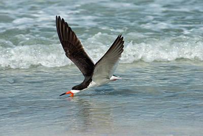 Feeding Photograph - Black Skimmer Feeding In Water Flying by Sheila Haddad